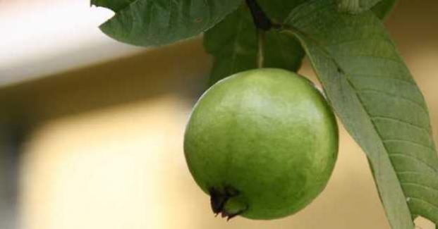 Guava Sağlık Faydaları, Beslenme Gerçekleri ve Yan etkileri