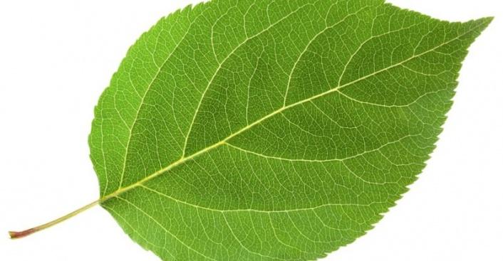 Ashitaba bitkisi nedir? Ashitaba'nın Sağlık Faydaları…