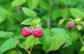 Kırmızı Ahududu Yaprağı Kullanım Alanları Hamilelik ve Daha Fazlası İçin