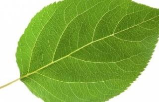Ashitaba bitkisi nedir? Ashitaba'nın Sağlık...