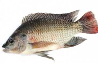 Tilapia Balığının Etkileyici Sağlık Faydaları